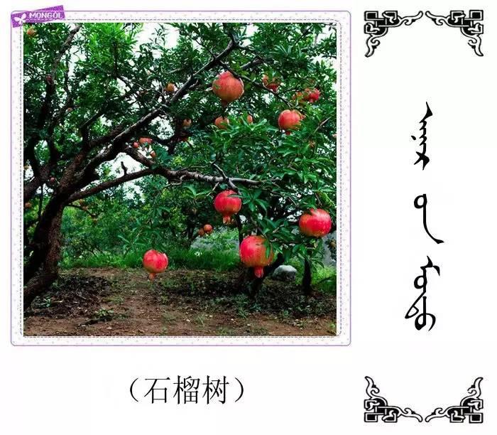 54种树木的名字,双语解释(蒙古文 汉语) 第48张