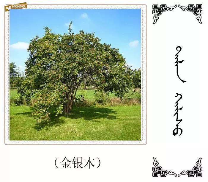 54种树木的名字,双语解释(蒙古文 汉语) 第46张