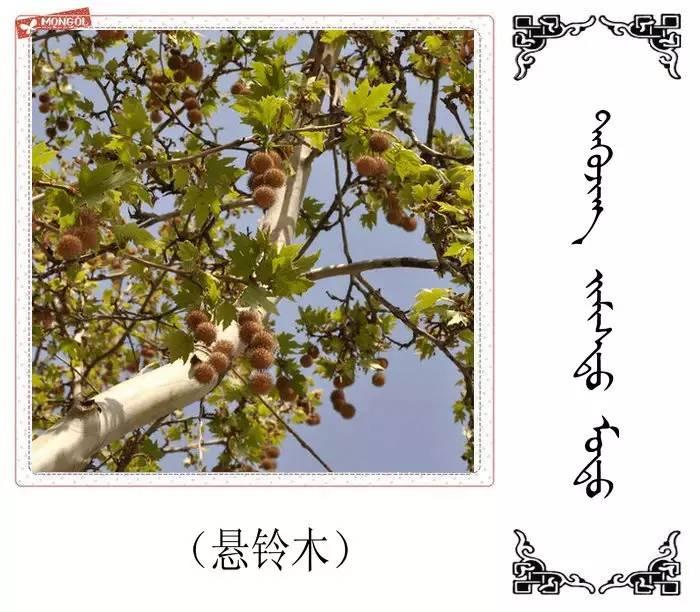 54种树木的名字,双语解释(蒙古文 汉语) 第47张