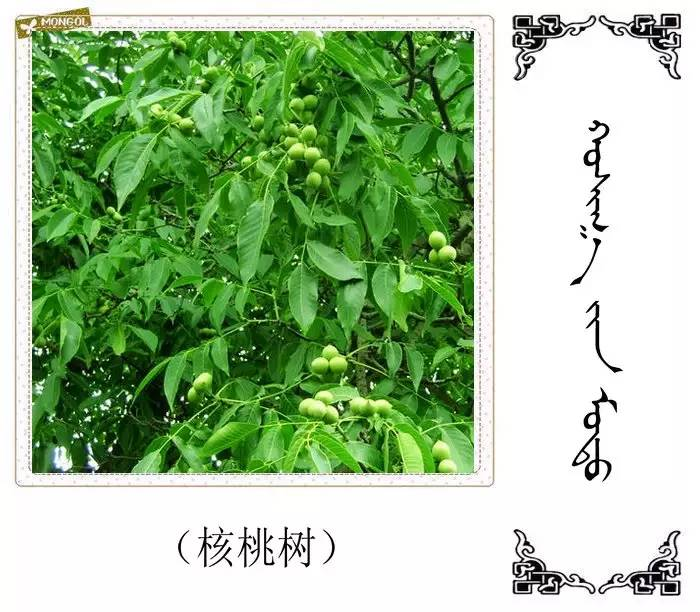 54种树木的名字,双语解释(蒙古文 汉语) 第52张