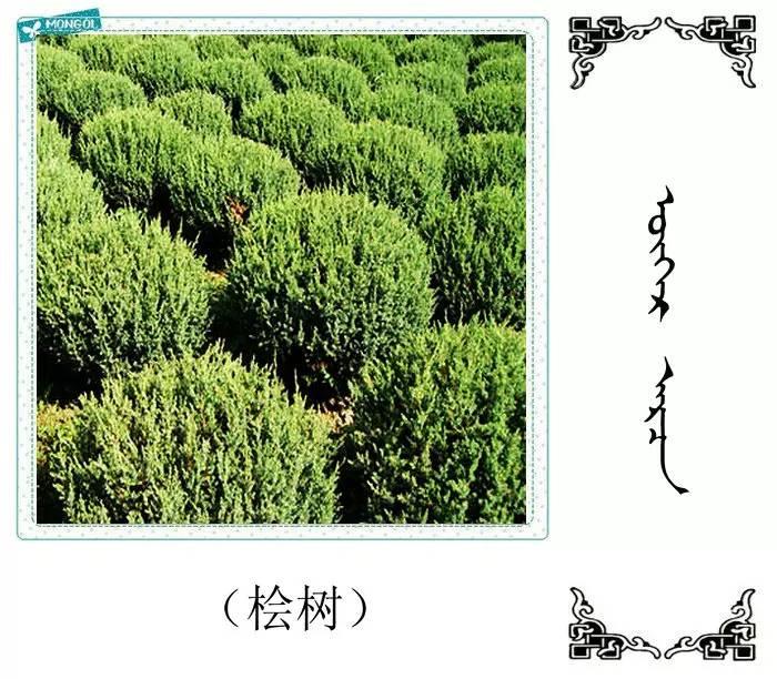 54种树木的名字,双语解释(蒙古文 汉语) 第50张