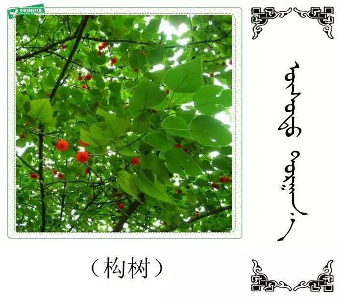 54种树木的名字,双语解释(蒙古文 汉语) 第54张