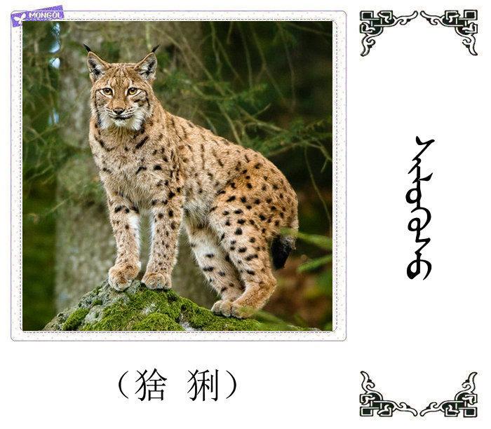 哺乳动物的名字(蒙古文 汉语) 第9张