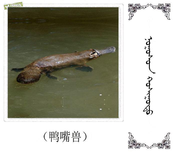 哺乳动物的名字(蒙古文 汉语) 第53张
