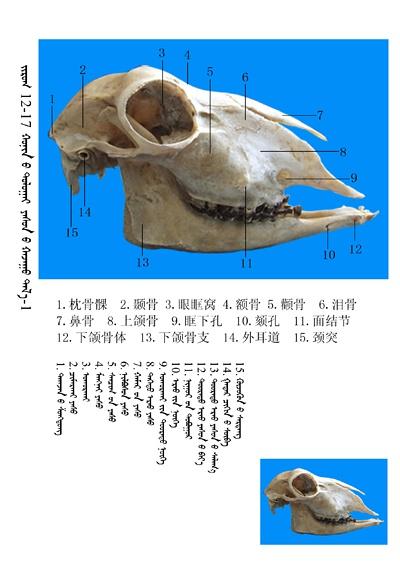 史上最全绵羊骨骼名称图解,蒙古文汉文对照 建议收藏! 第4张
