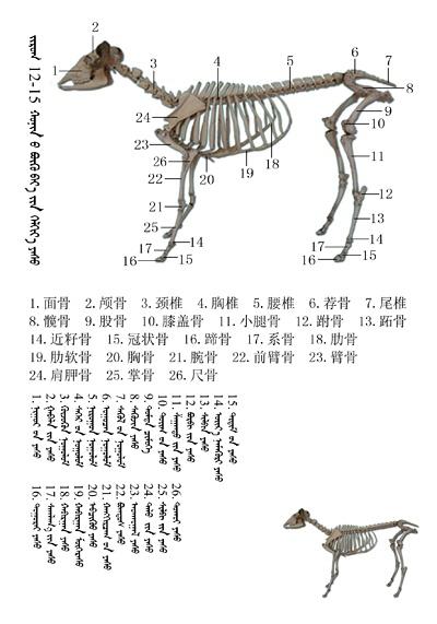 史上最全绵羊骨骼名称图解,蒙古文汉文对照 建议收藏! 第2张