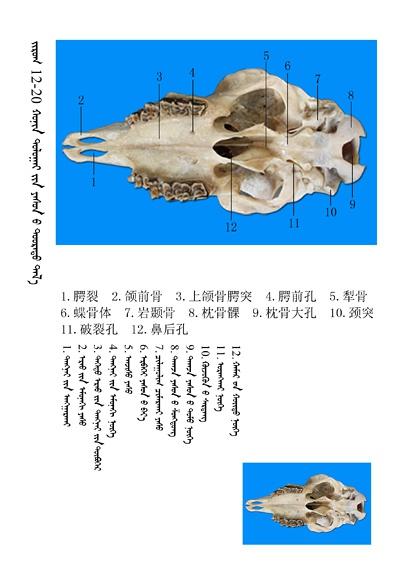 史上最全绵羊骨骼名称图解,蒙古文汉文对照 建议收藏! 第6张