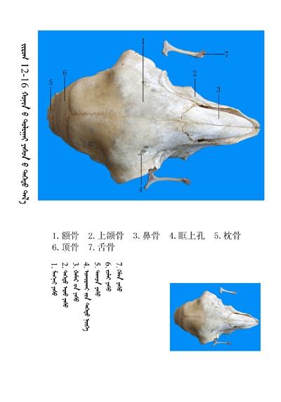 史上最全绵羊骨骼名称图解,蒙古文汉文对照 建议收藏! 第3张