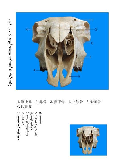 史上最全绵羊骨骼名称图解,蒙古文汉文对照 建议收藏! 第5张