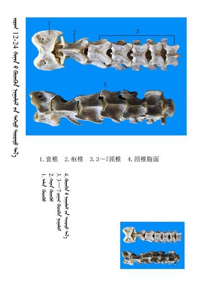 史上最全绵羊骨骼名称图解,蒙古文汉文对照 建议收藏! 第10张