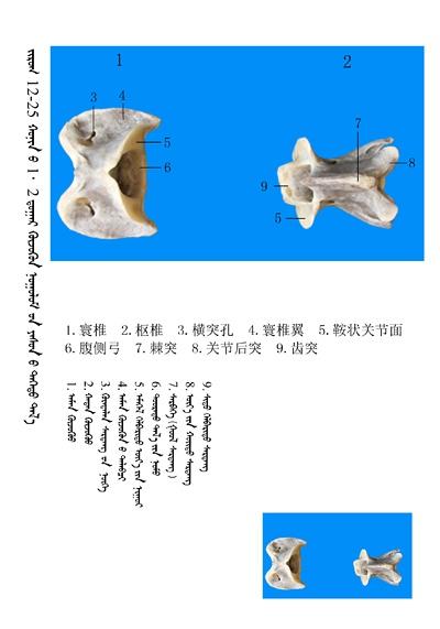 史上最全绵羊骨骼名称图解,蒙古文汉文对照 建议收藏! 第11张