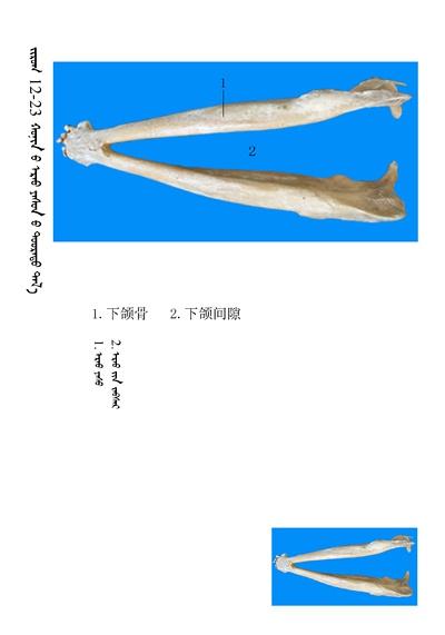 史上最全绵羊骨骼名称图解,蒙古文汉文对照 建议收藏! 第9张