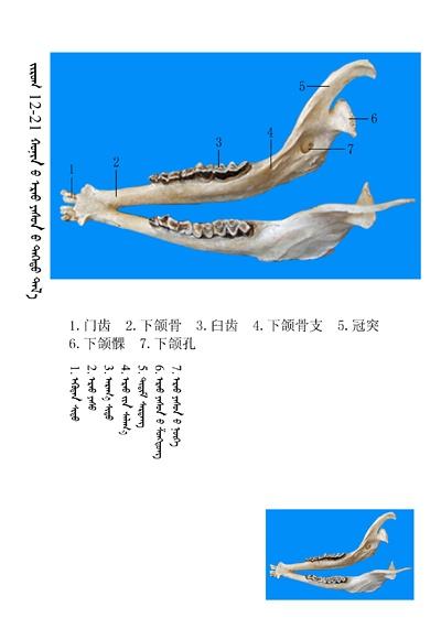 史上最全绵羊骨骼名称图解,蒙古文汉文对照 建议收藏! 第7张