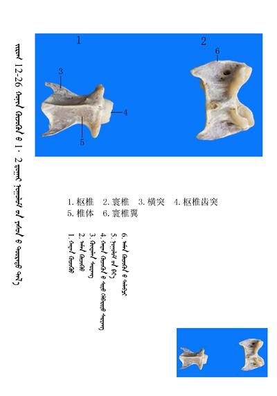 史上最全绵羊骨骼名称图解,蒙古文汉文对照 建议收藏! 第12张