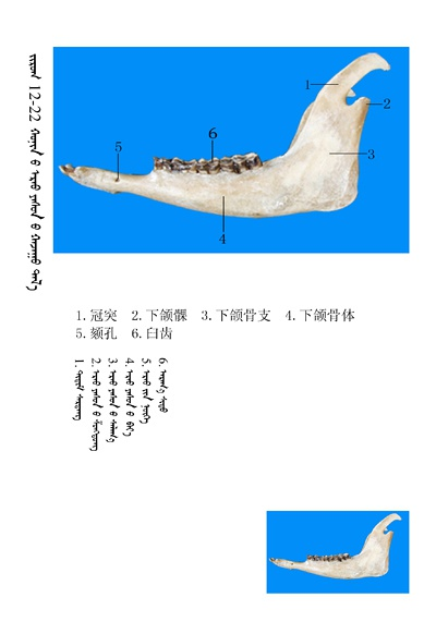 史上最全绵羊骨骼名称图解,蒙古文汉文对照 建议收藏! 第8张