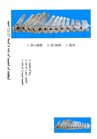 史上最全绵羊骨骼名称图解,蒙古文汉文对照 建议收藏! 第13张