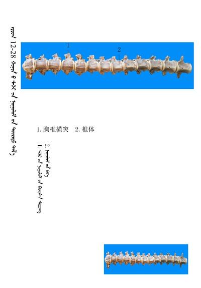 史上最全绵羊骨骼名称图解,蒙古文汉文对照 建议收藏! 第14张