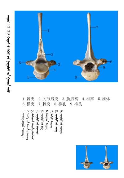 史上最全绵羊骨骼名称图解,蒙古文汉文对照 建议收藏! 第15张