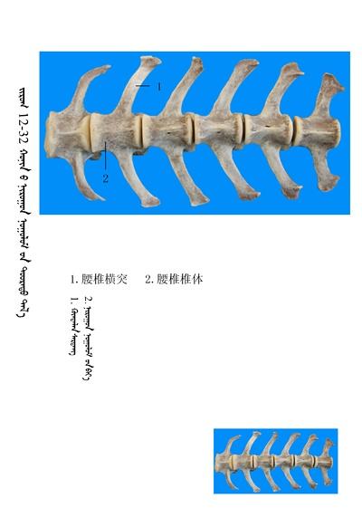 史上最全绵羊骨骼名称图解,蒙古文汉文对照 建议收藏! 第18张