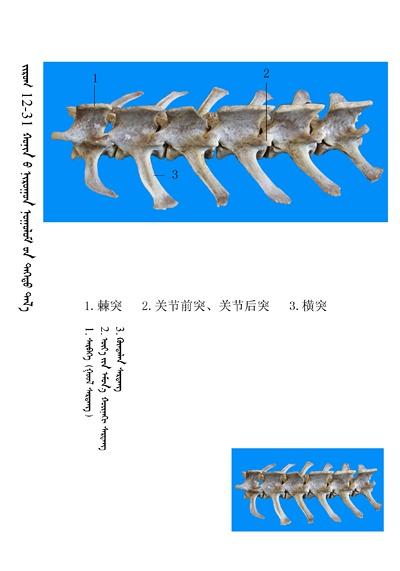 史上最全绵羊骨骼名称图解,蒙古文汉文对照 建议收藏! 第17张