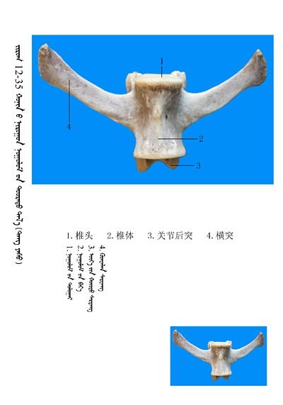 史上最全绵羊骨骼名称图解,蒙古文汉文对照 建议收藏! 第21张