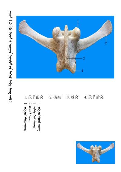 史上最全绵羊骨骼名称图解,蒙古文汉文对照 建议收藏! 第22张
