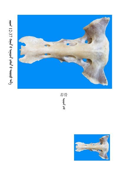 史上最全绵羊骨骼名称图解,蒙古文汉文对照 建议收藏! 第23张