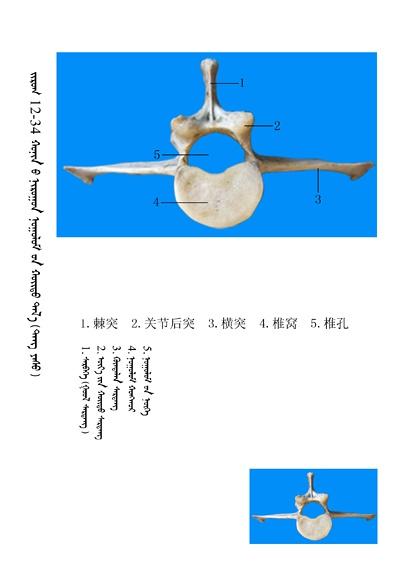 史上最全绵羊骨骼名称图解,蒙古文汉文对照 建议收藏! 第20张