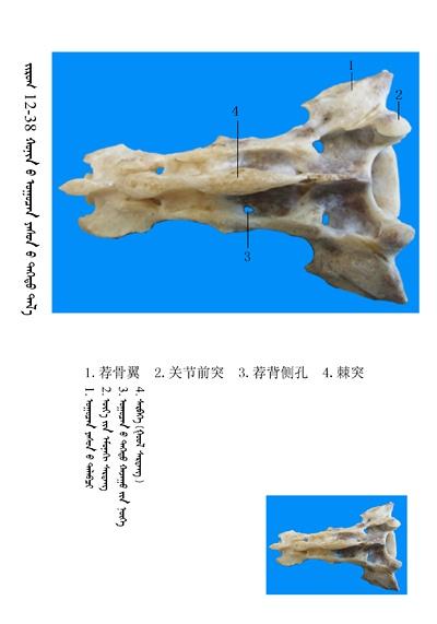 史上最全绵羊骨骼名称图解,蒙古文汉文对照 建议收藏! 第24张
