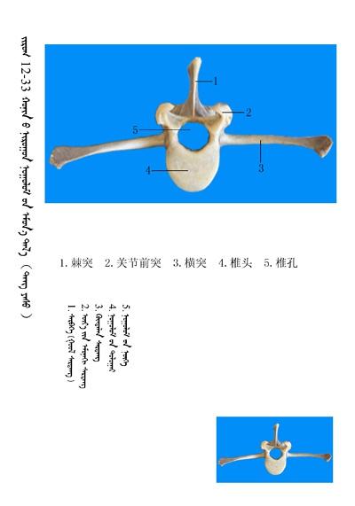 史上最全绵羊骨骼名称图解,蒙古文汉文对照 建议收藏! 第19张