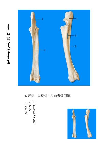 史上最全绵羊骨骼名称图解,蒙古文汉文对照 建议收藏! 第31张