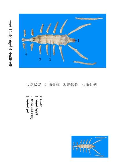 史上最全绵羊骨骼名称图解,蒙古文汉文对照 建议收藏! 第26张