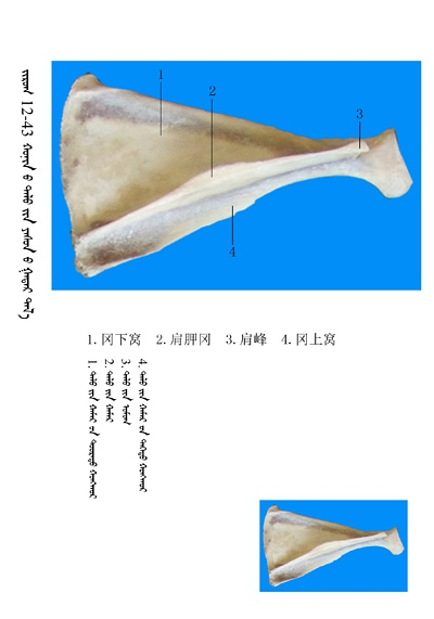 史上最全绵羊骨骼名称图解,蒙古文汉文对照 建议收藏! 第29张
