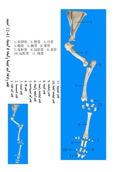 史上最全绵羊骨骼名称图解,蒙古文汉文对照 建议收藏! 第27张