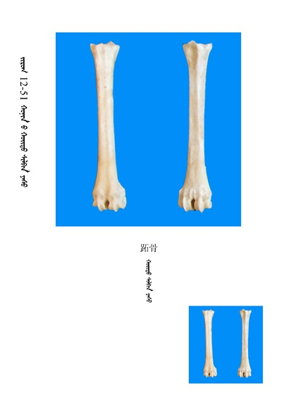史上最全绵羊骨骼名称图解,蒙古文汉文对照 建议收藏! 第37张