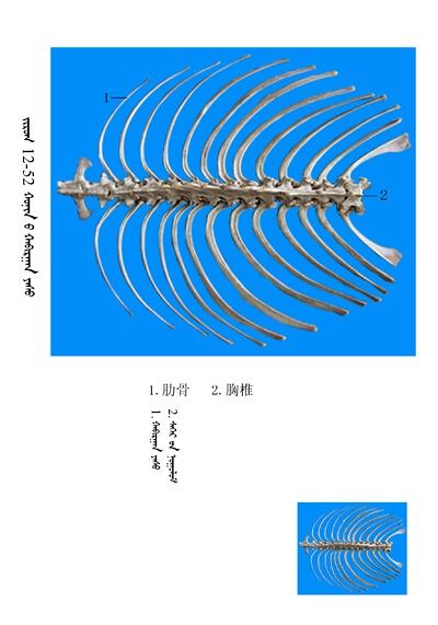 史上最全绵羊骨骼名称图解,蒙古文汉文对照 建议收藏! 第38张