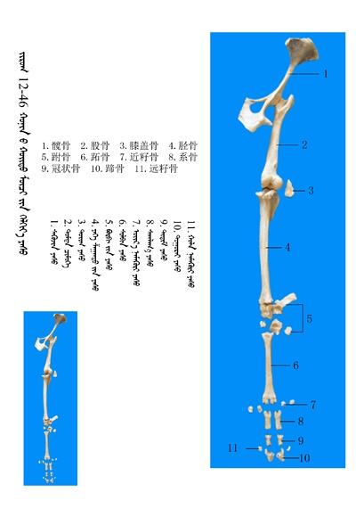 史上最全绵羊骨骼名称图解,蒙古文汉文对照 建议收藏! 第32张