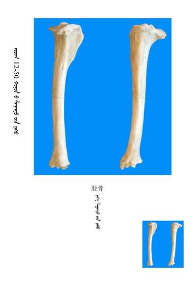史上最全绵羊骨骼名称图解,蒙古文汉文对照 建议收藏! 第36张