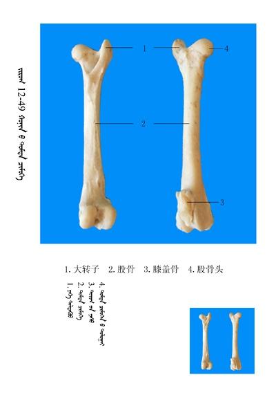 史上最全绵羊骨骼名称图解,蒙古文汉文对照 建议收藏! 第35张