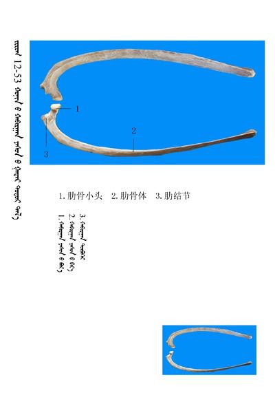 史上最全绵羊骨骼名称图解,蒙古文汉文对照 建议收藏! 第39张