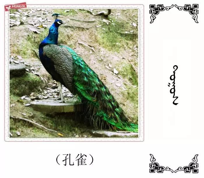 54种鸟类的名字,双语解释(蒙古文 汉语) 第2张