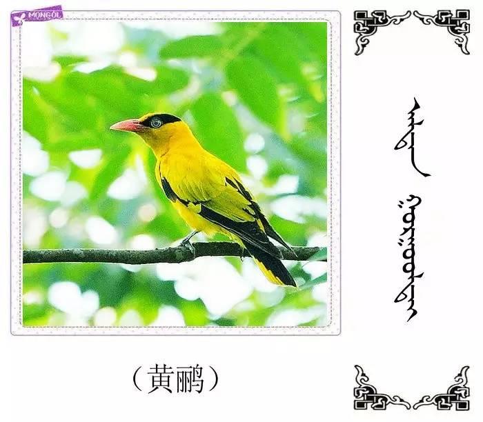54种鸟类的名字,双语解释(蒙古文 汉语) 第3张