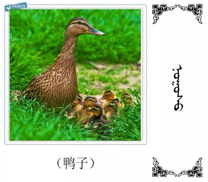 54种鸟类的名字,双语解释(蒙古文 汉语) 第4张