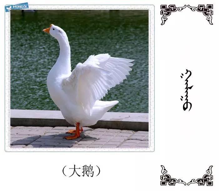 54种鸟类的名字,双语解释(蒙古文 汉语) 第10张