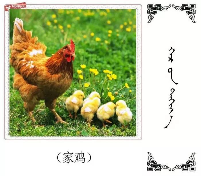 54种鸟类的名字,双语解释(蒙古文 汉语) 第7张