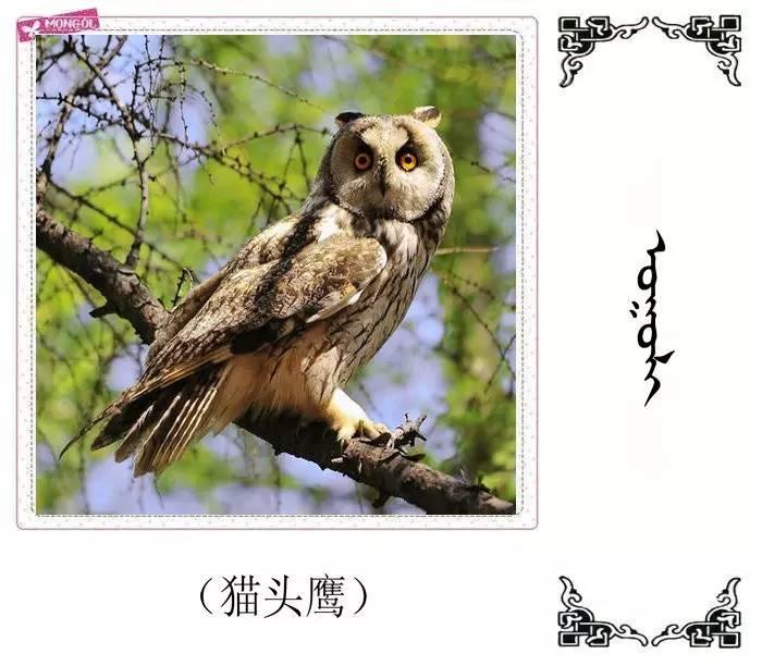 54种鸟类的名字,双语解释(蒙古文 汉语) 第8张