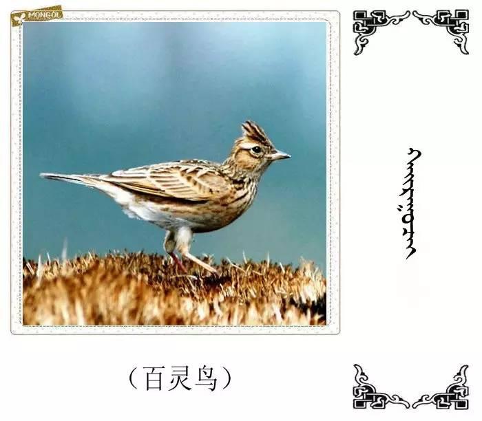 54种鸟类的名字,双语解释(蒙古文 汉语) 第6张