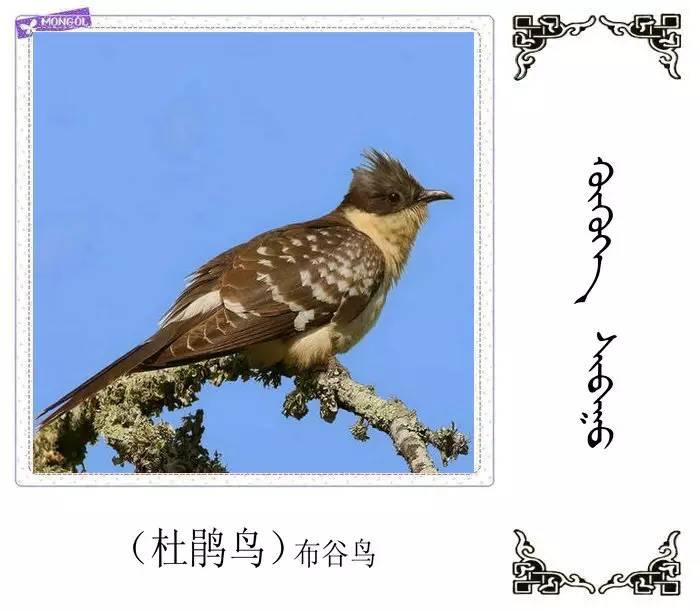 54种鸟类的名字,双语解释(蒙古文 汉语) 第9张