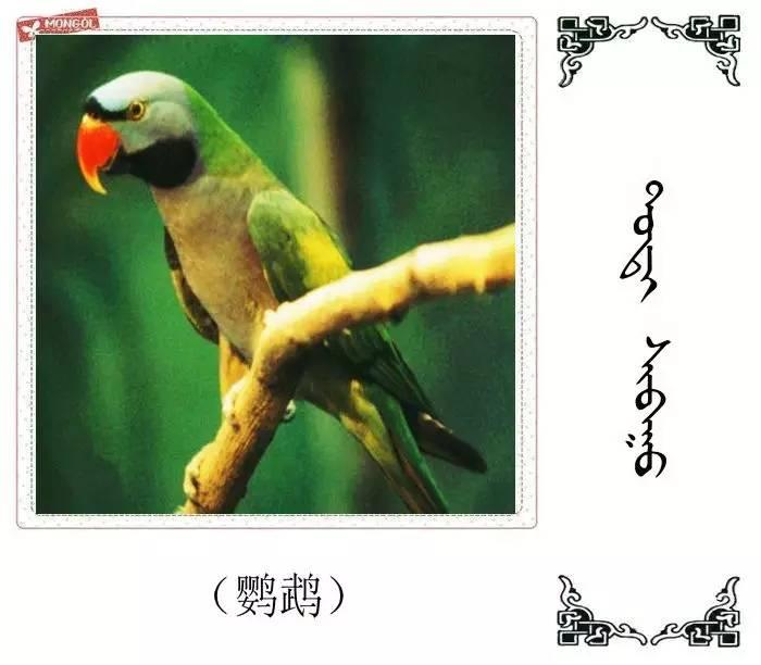 54种鸟类的名字,双语解释(蒙古文 汉语) 第14张