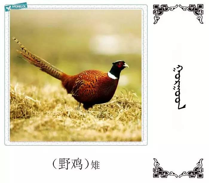 54种鸟类的名字,双语解释(蒙古文 汉语) 第11张